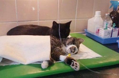Kissa makaa eläinlääkärin pedillä