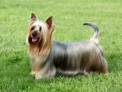 Pieni koira, suuri persoonallisuus