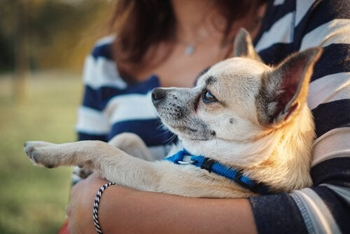 Chihuahua sylissä