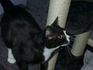 Lontoolainen kissa ilmestyi Pariisiin 8 vuotta katoamisensa jälkeen