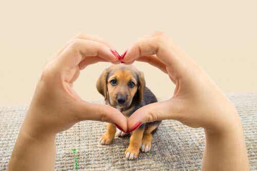 Koira elää rakastaakseen sinua ja haluaa antaa sinulle sydämensä