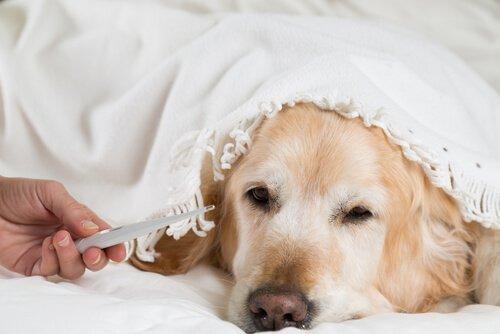 Koiran kuumeen mittaaminen