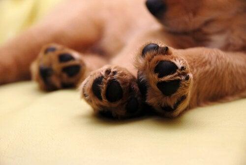 Kuinka estää koiran tassujen palaminen