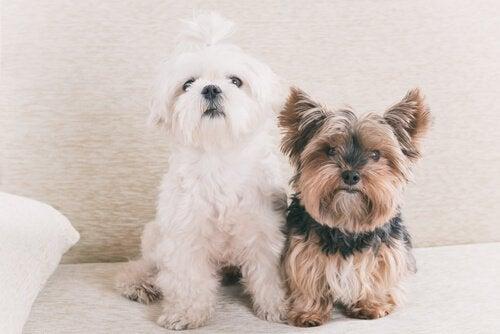 Koiran ikävuosi vastaa seitsemää ihmisen vuotta - totta vai tarua?