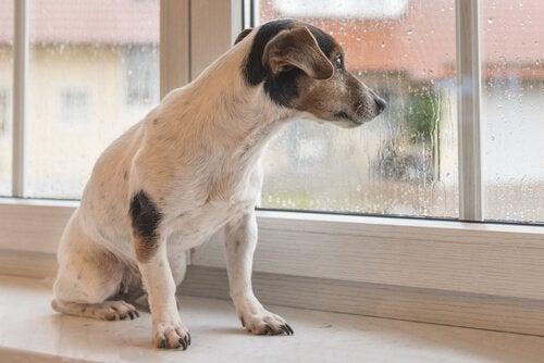Koira katselee sadetta ikkunasta