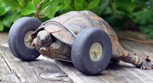 Tapaa proteesin avulla liikkuva kilpikonna