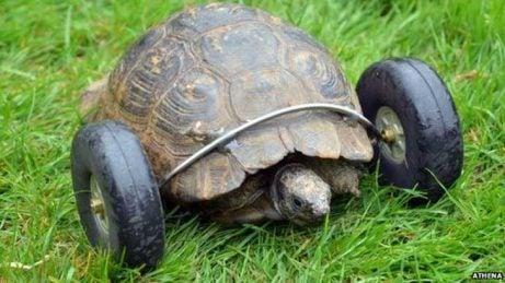 Proteesin avulla liikkuva kilpikonna