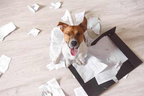 Koiran tuhoisa käyttäytyminen ja 3 neuvoa sen kitkemiseen