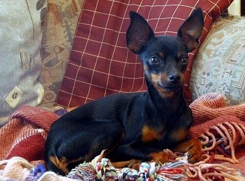 Prahanrottakoira - yksi maailman pienimmistä koirista