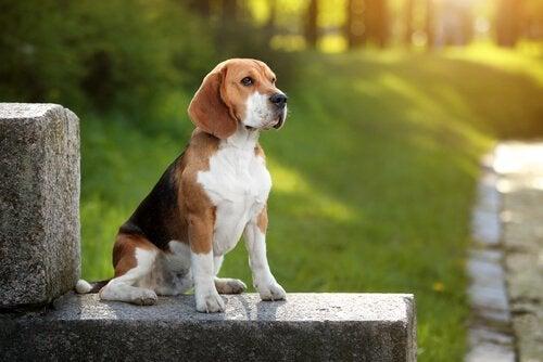 Beagle on aktiivinen ja ystävällinen metsästyskoira
