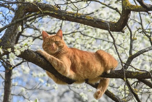 Kuinka pitkään kissa elää?