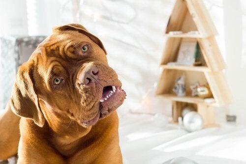 Miksi koira kallistaa päätään, kun puhut sille?