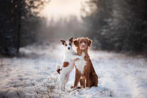 Älä koskaan pakota koiraa kävelemään takajaloillaan