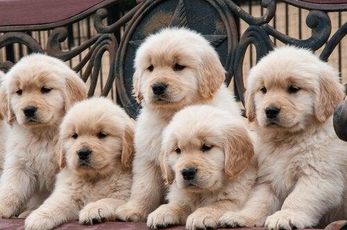 Miksi koirarotuja on niin monta?