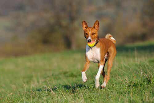 Mitkä koirarodut haukkuvat vähiten?
