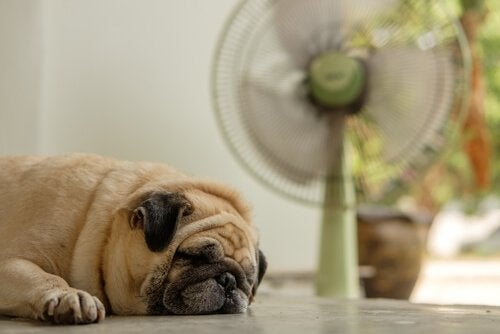 Koiran viileänä pitäminen helteellä