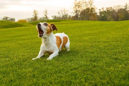 Koiran haukkuminen ja sen tulkitseminen