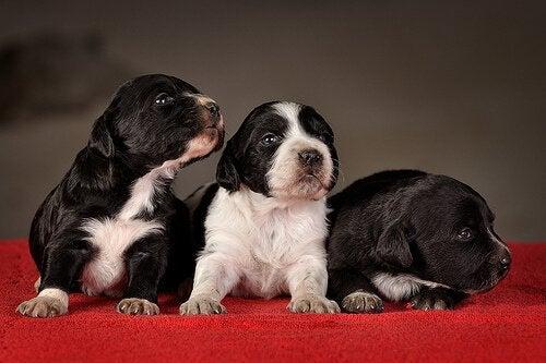 Koiranpennun koulutus: Milloin ja miten pennun kouluttaminen kannattaa aloittaa?