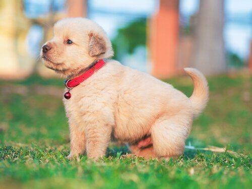 Penikkatauti Koiralla