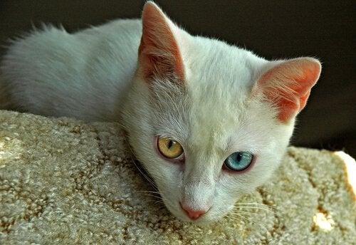 Mitkä ovat vanhimmat kissarodut?