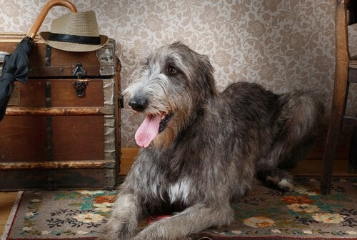 Irlanninsusikoira on suuri ja hyväluontoinen koira