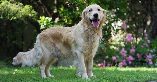 Koiran sydämen sivuääni: Syyt, oireet ja estäminen