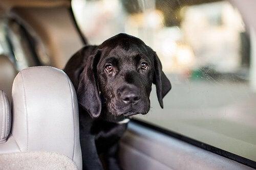 Koira matkustaa autossa