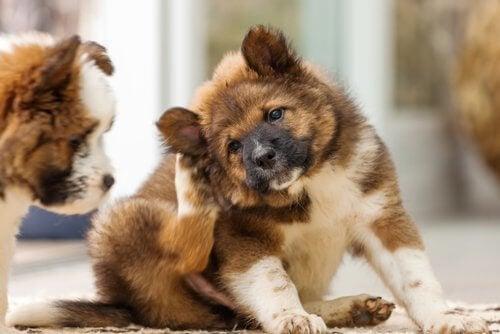 Mistä koiran korvien kutina johtuu?