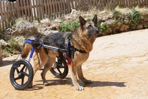 Koiran takajalkojen heikkous