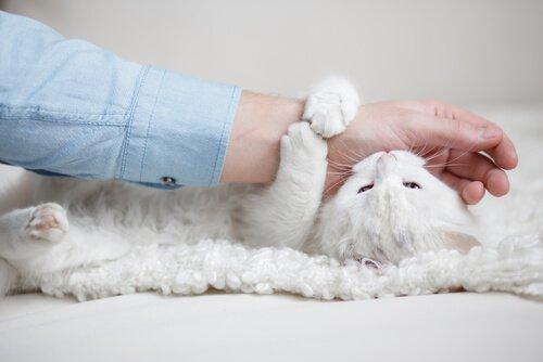 Miksi kissa puree, kun sitä yrittää koskettaa?