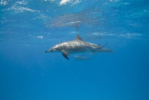 Miten delfiini nukkuu?