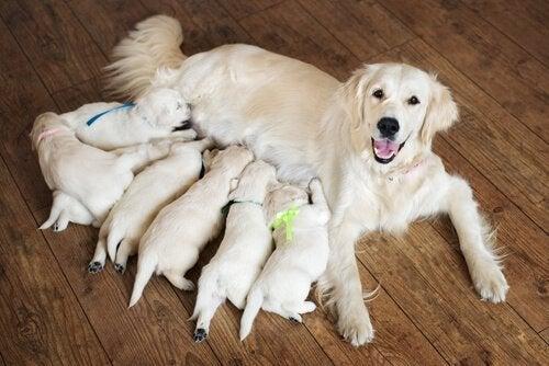 Kuinka auttaa koiraa synnytyksessä?