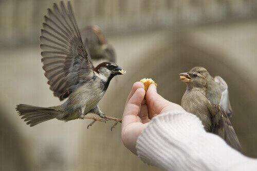 Orvon linnunpoikasen ruokinta