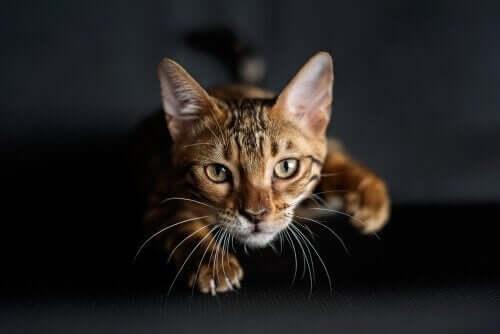 Kuinka kissat oppivat metsästämään?