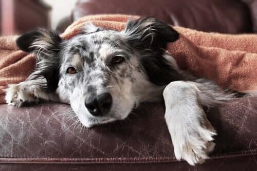 Yleisimmät koirien sisäloistartunnat ja niiden hoito