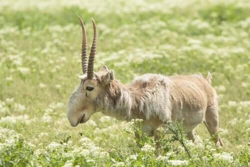 Saiga-antilooppi on sukupuuton partaalla