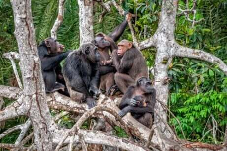 Tutkimuksen mukaan simpanssikulttuuri on katoamassa