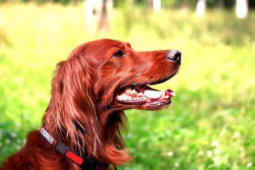 Mistä tietää, onko koira hyvä metsästäjä?
