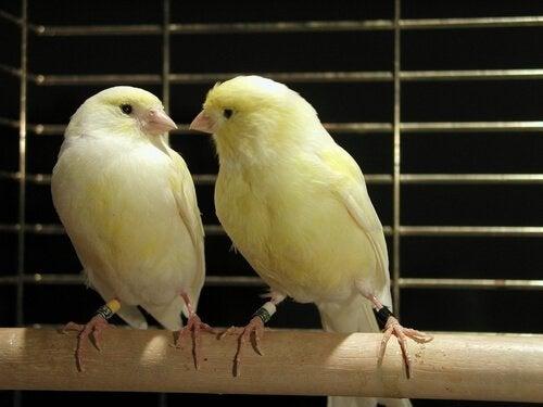 Kanarialintujen kasvatus