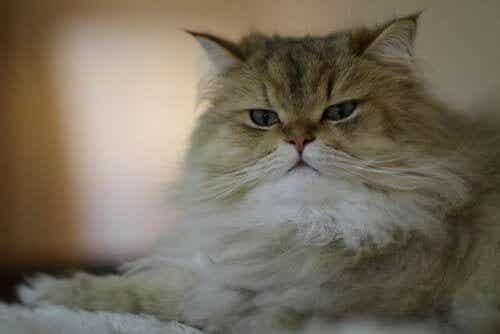 Pitkäkarvaiset kissarodut: 9 suosittua ja kaunista kissaa