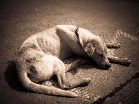 Milloin koiran painonlasku on merkki sairaudesta?