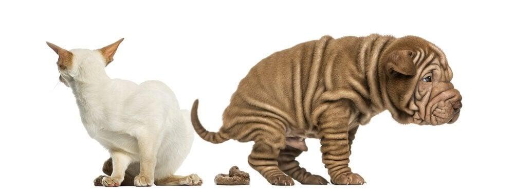 Kissan tai koiran ummetuksen hoito