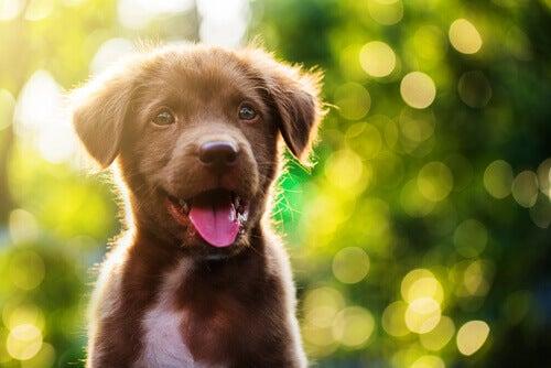 Ovatko sekarotuiset terveempiä kuin puhdasrotuiset koirat?