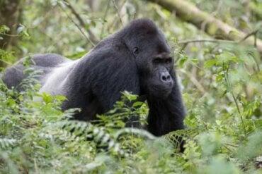 Gorillat ovat maailman suurimpia kädellisiä