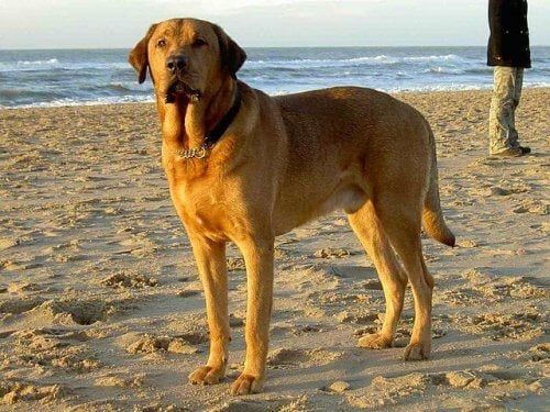Broholminkoira on mastiffityyppinen tanskalainen koirarotu