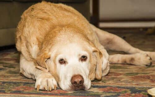 Labradorinnoutajan nivelsairaudet