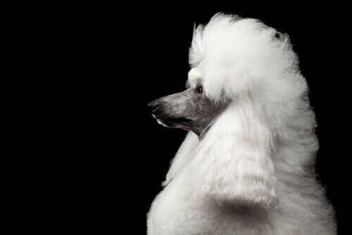 Millainen eläin on ylellisyysrotuna tunnettu villakoira?