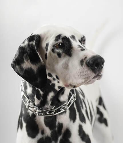 Kuristuspanta on vaaraksi koiran terveydelle