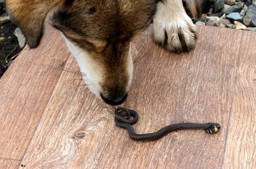 Kuinka toimia, jos käärme puree koiraa?