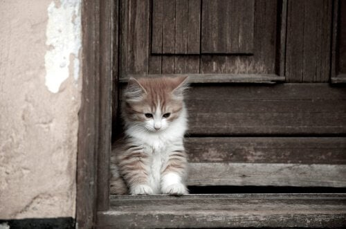 Millainen kissarotu on cymric?